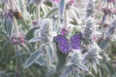 Motyl fioletowy